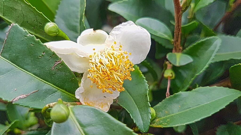 green tea flower biteme